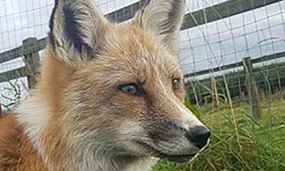 Fox Encounter for Two at Ark Wildlife Park Dreamdays Experience 1