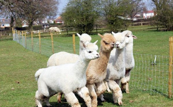 Lucky Tails Alpaca Farm Entry with Alpaca Walk for Two Adults a Two Children Dreamdays Experience 1