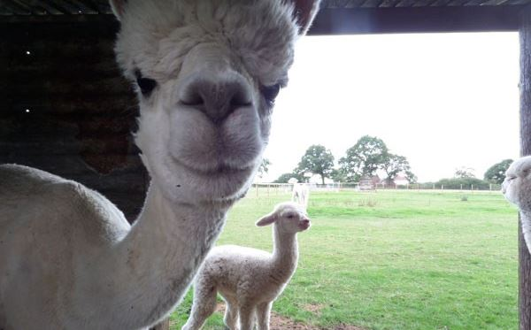 Lucky Tails Alpaca Farm Entry with Alpaca Walk for Two Adults a Two Children Dreamdays Experience 2