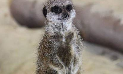 Meerkat Encounter for One at Ark Wildlife Park Dreamdays Experience 1