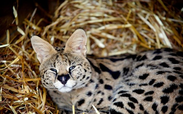 Meet the African Big Cats for Two Dreamdays Experience 1