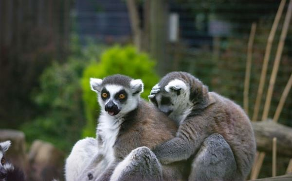 Meet the Lemurs Experience at Paradise Wildlife Park Dreamdays Experience 3