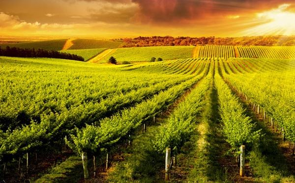 Vineyard Tour and Tasting with Lunch or Afternoon Tea for Two Special Offer Dreamdays Experience 2