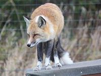 Fox Encounter for One at Ark Wildlife Park