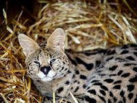 Meet the African Big Cats for Two Experience Day