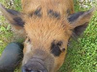 Meet the Piggies with Afternoon Tea for Two